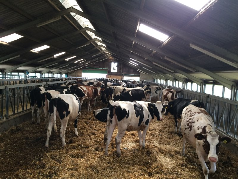Dairy cattle - Van der Ploeg International