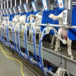 Rapid exit side by side milking parlour goats